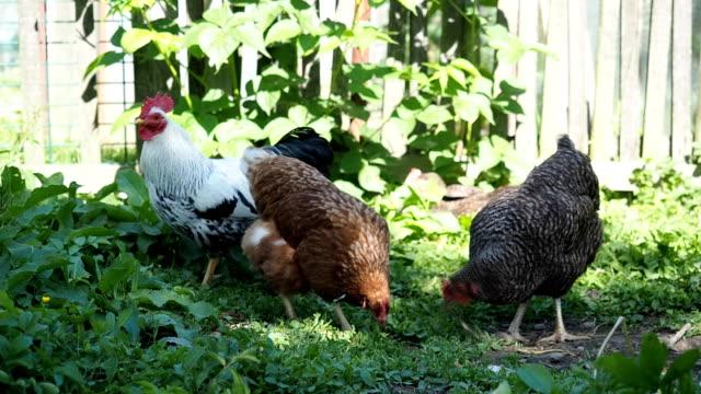 Freilandhaltung Hahn Beweidung und Krähen im Garten mit Hühnern
