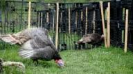 Freilandhaltung Türkei Weiden im Garten