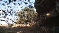 Free-tailed bats at cave entrance, Texas, USA.
