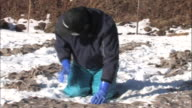 Freeze dried konjac cake production Farmers placing square konjac cakes on the snow covered field panning shot of the farmers working on the konjac...