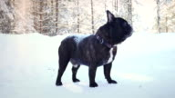 French bulldog on the snow