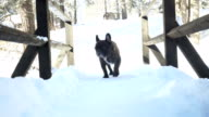 French bulldog walking on the snow path