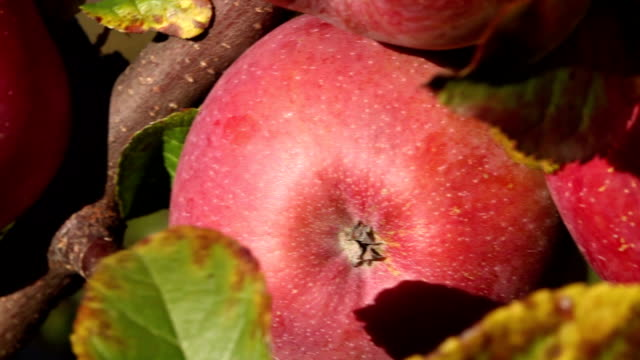 Fresh apples, camera pan