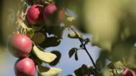 Fresh Apples in Apple Tree