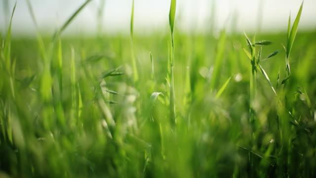 Frische Gras, recht Schwenken