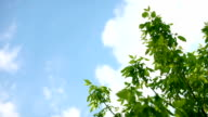 Fresh green leaves against blue sky with fluffy white clouds