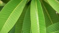 Fresh green leaves.