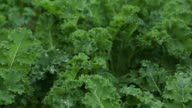 Fresh kale in the garden, pan