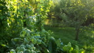 Fresh pods of kidney bean and cabbage in the garden VIDEO