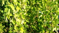 Fresh ripe and unripe pods of kidney bean in the garden VIDEO