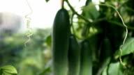 Fresh ripe cucumbers in the greenhouse VIDEO