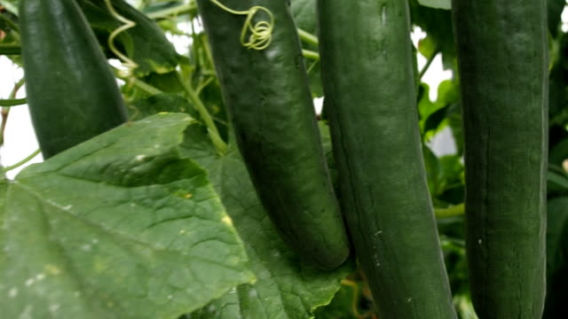 Fresh ripe cucumbers in the greenhouse VIDEO