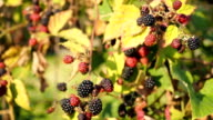 Fresh semi-ripe Blackberry in the garden