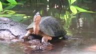 Fresh water turtle in Costa Rica