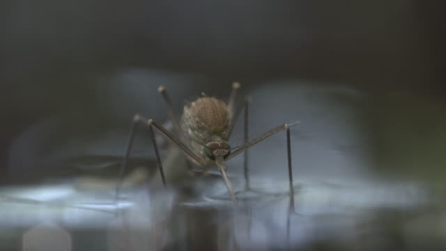 Freshly emerged female mosquito sitting on water surface