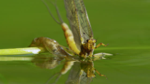 Freshly emerged mayfly (Ephemeroptera) takes off from surface of river, Wiltshire, England