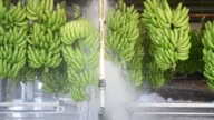 Freshly harvested bananas hanging from a pulley system are washed at the Liverpool River Bananas farm near Tully Queensland Australia on Tuesday Aug...