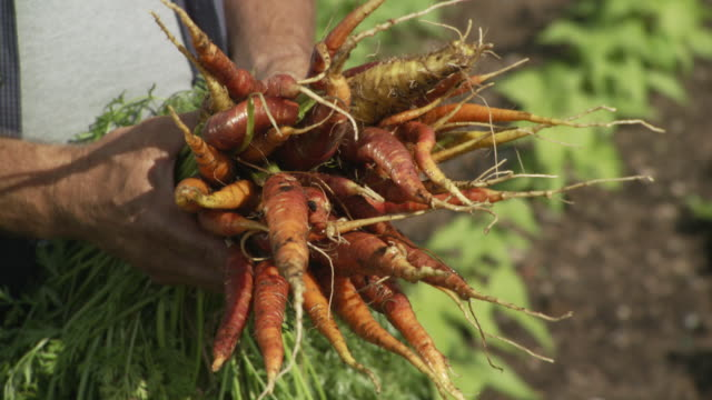 CU PAN Freshly harvested carrots holding in hands / Chicago, IL, United States