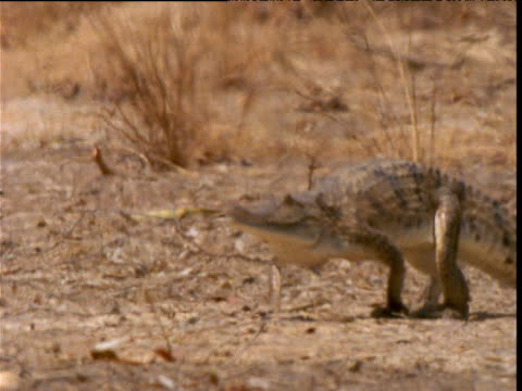 Freshwater crocodile strides over parched outback in heat haze, Northern Territory, Australia