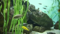 Freshwater fishes in fish tank