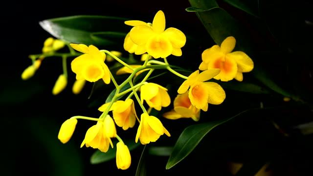 Spiegelei orchid