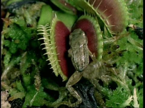 CU Frog caught in Venus flytrap, Dionaea muscipula, carnivorous plant, United Kingdom