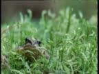 Frog sits amongst moss and looks at camera, Finland
