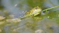 Frog sitting in swamp, three scenes