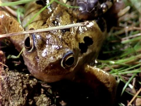 CU frog, tilts up to Grass Snake eating frog