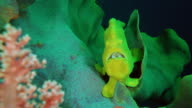 Frogfish under water in Philippines