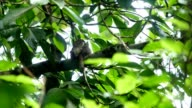 Frogmouths birds and babies 'Batrachostomus affinis'