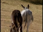 MS from behind, One donkey kicks another