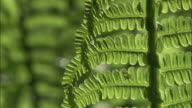 Fronds of ostrich fern (Matteuccia struthiopteris) in forest, Russia