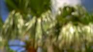 Fronds on large Cabbage palm tree