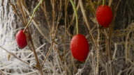 Frost growing on rose hips and grass in the UK in winter