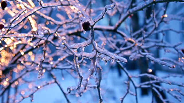 Frozen eglantine under windflaw