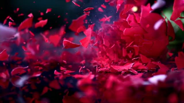 SLO MO roten rose blühen zerschlagenden auf schwarze Oberfläche