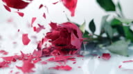 SLO MO bevroren rood rose verbrijzelt op het witte oppervlak