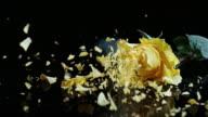 SLO, MO, gefrorene yellow rose brechen in Stücke