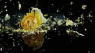 SLO MO Frozen yellow rose shatters on the black surface