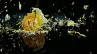 SLO, MO, gefrorene yellow rose shatters auf der schwarzen Oberfläche