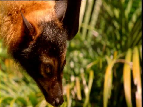 Fruit bat looks around, Queensland, Australia