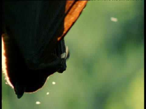 Fruit bat wafts wings and looks around, backlit, Queensland, Australia