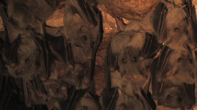 Fruit bats (family Pteropodidae) bats hanging on a rock, staring, Israel