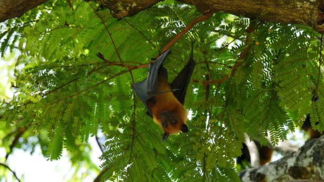 Obst Bats hängen auf den Kopf zu Baum.