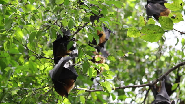 Obst Bats hängen auf den Kopf gestellt