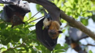 Fruit Bats Hanging Upside Down with its cub.