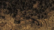 Fruit bats (family Pteropodidae) pull out from group of bats to cave entrance, Israel