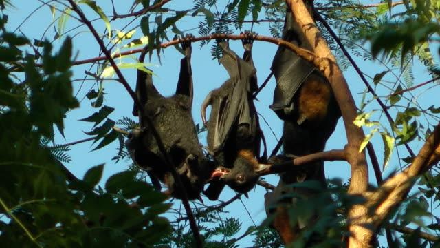 Obst bats