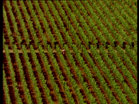 Fruit picker wearing pink dress picks grapes in vineyard. Zoom out to wide view of rows of lush green vines